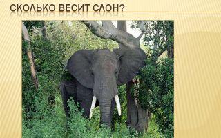 Сколько весит слон – интересные факты