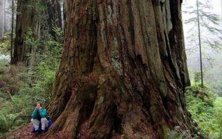 Самое высокое дерево в мире интересные факты