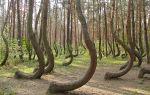 Кривой лес интересные факты