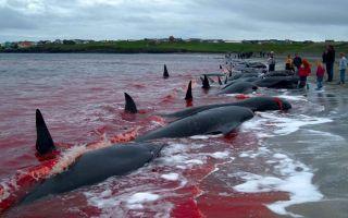 Массовое убийство черных дельфинов в дании интересные факты