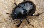 Священный жук скарабей – описание и фото