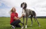Самые большие собаки – интересные факты