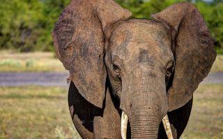 Самые знаменитые слоны – интересные факты