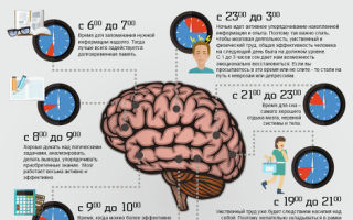 Распорядок работы мозга на протяжении дня