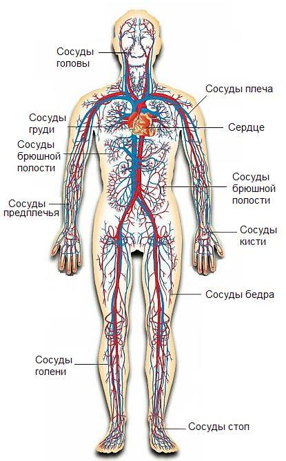 схема кровеносной системы человека фото продаже квартир ногинске
