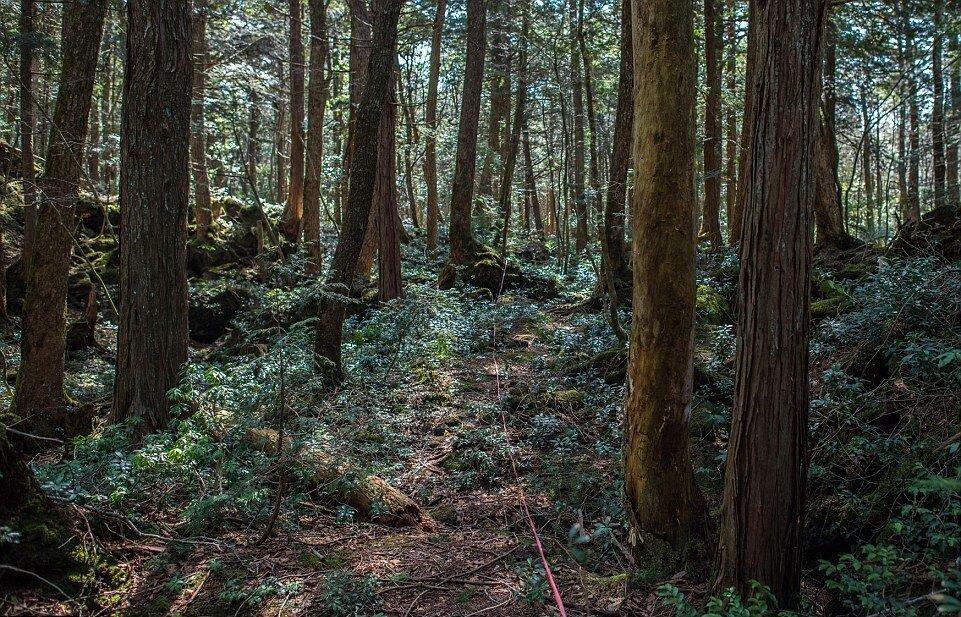 условиях лес в японии аокигахара фото вставить электронную