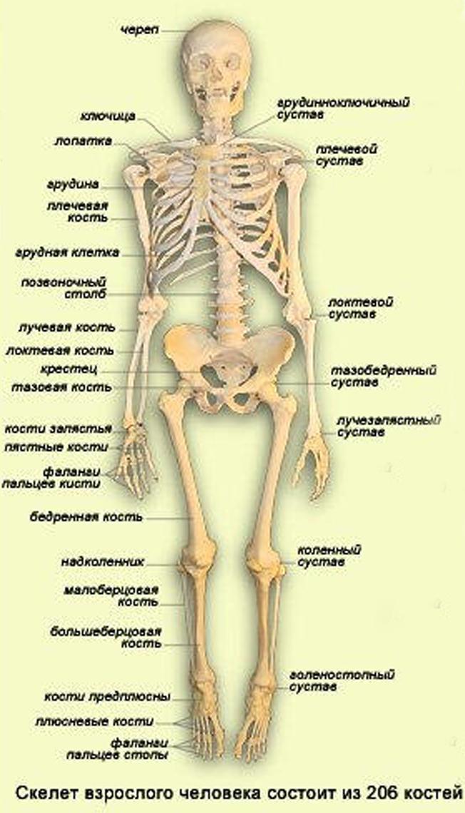 скелет человека в картинках с названиями костей проживание