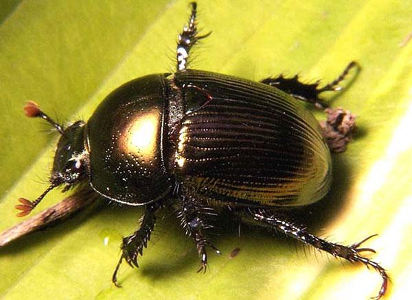 Египетский жук скарабей значение
