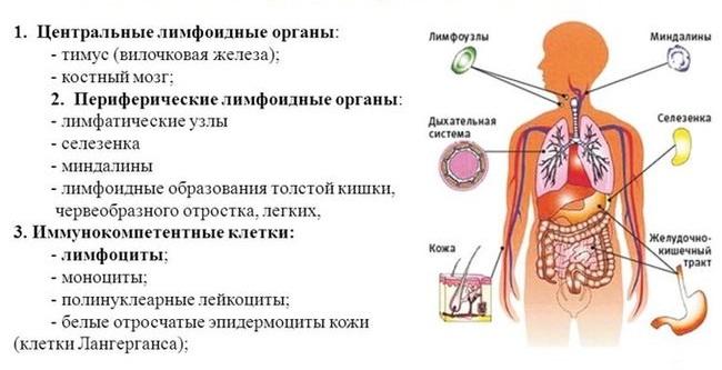 Защитные механизмы человеческого организма реферат 1026