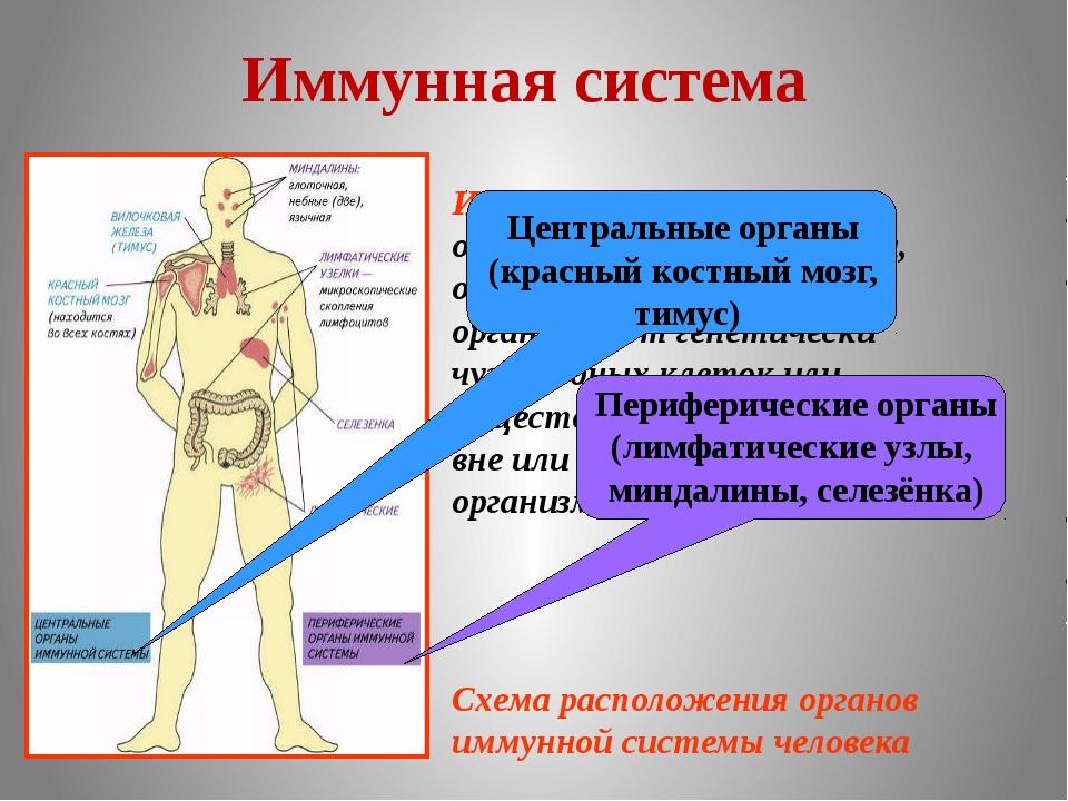 Защита организма - иммунитет человека